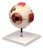 Eye Model -- B10403