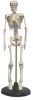 Desktop Human Skeleton -- B10203