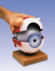 Eyeball with Functional Lens, 6-times full-size, 5 part -- W42569 [1005557]